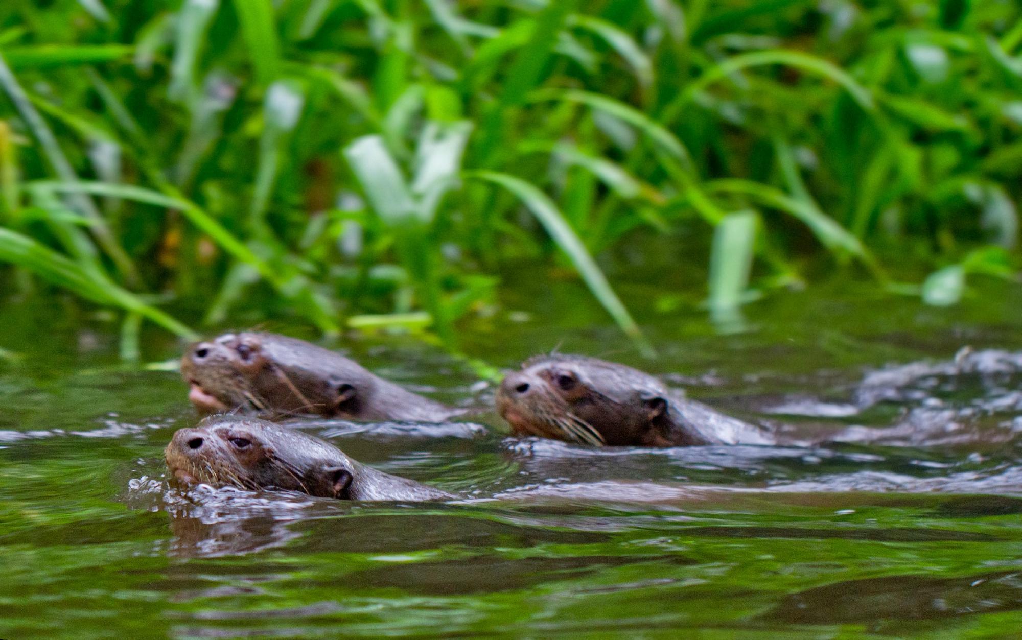 Napo River otters