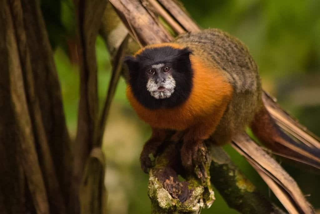 Tamarind monkey at Napo