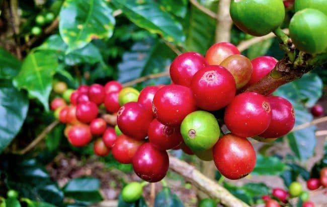 Coffee Beans Costa Rica