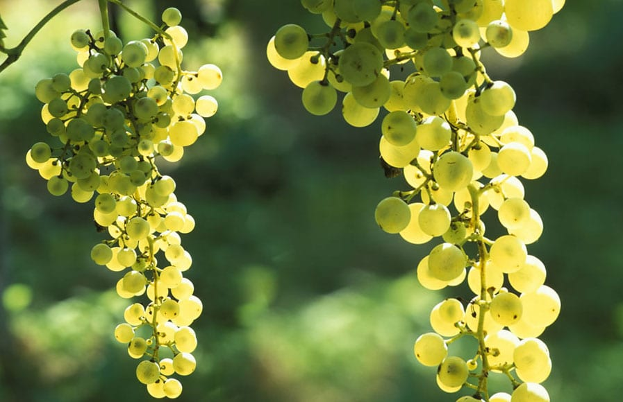 ruggeri-prosecco-uva