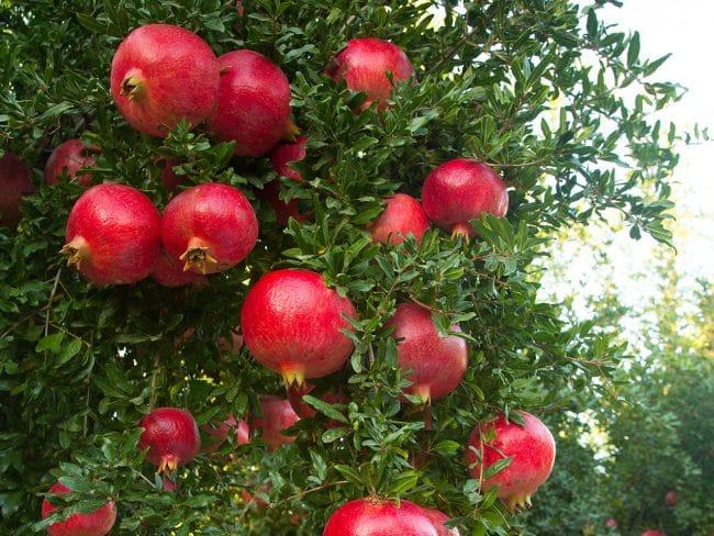 Pomegranates Philip Kingsley Elasticizer